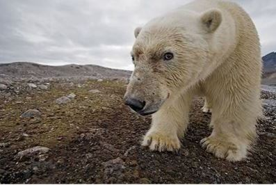 Polar bears will be counted in the Russian part of Arctic