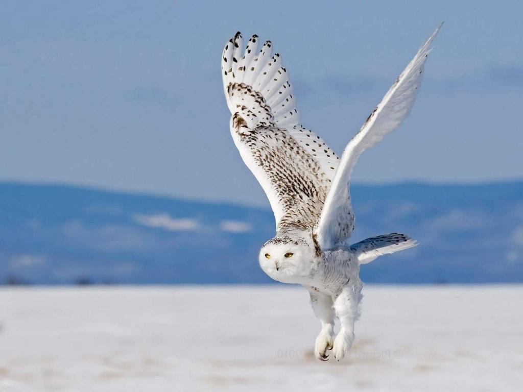 snowy_owl-e1413379577114.jpg